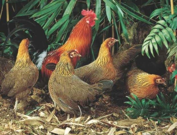 Red jungle fowl family 1