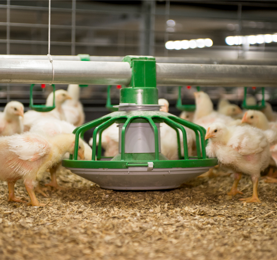 Perinatal broiler physiology between hatching and chick collection in 2 hatching systems