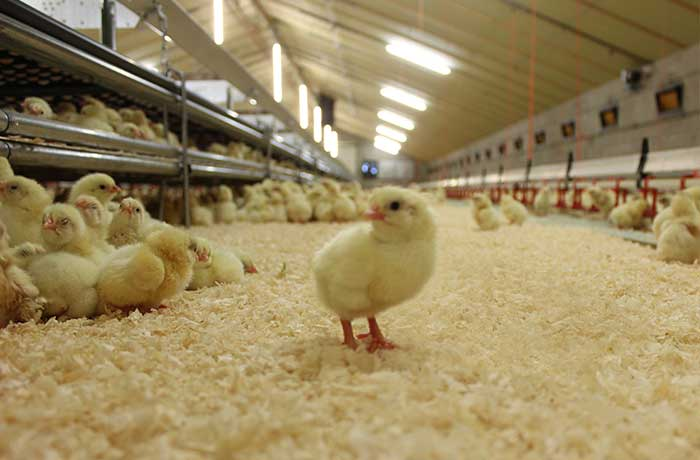 on farm hatching