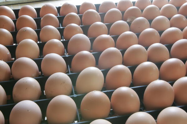 Predicting hairline fractures in eggs of mature hens
